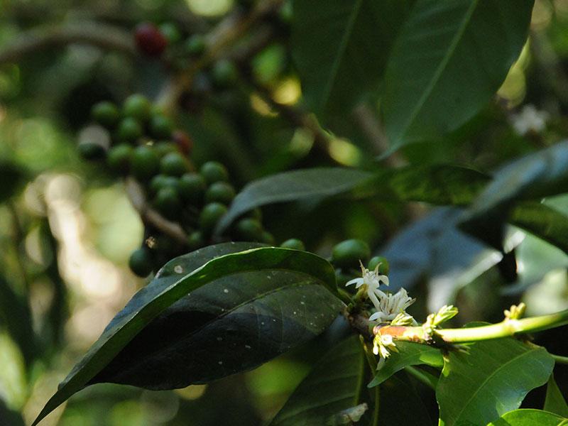 Von der Kaffeekirsche zum fertigen Espresso